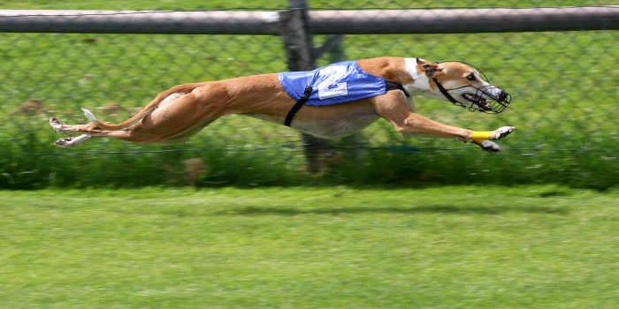 Irish Greyhound Board Gets Behind Responsible Gambling